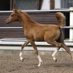 KB Zaraguel as a foal